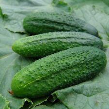 Cucumber Pickling Gherkin Libelle Vegetab EU Standard Garden Seeds UK