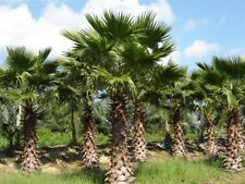 500 WASHINGTONIA ROBUSTA semi, seeds