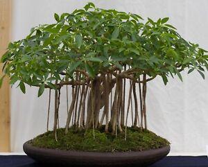 Zimmerpflanze welche die Luft reinigt i! STRAHLENARALIE !i Bonsai Fensterbank.