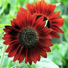 1 Pack 20 Fortune Sunflower Seeds Decorate Garden Beautiful Flowers Seed S065