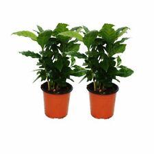 Exotenherz - Kaffee Pflanze (Coffea arabica) 2 Pflanze - Zimmerpflanze