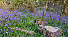 Meldon Woods Dartmoor Bluebells Photo Canvas 12 x 22 inches Panoramic (UK)