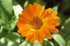 Marigold seeds - Calendula officinalis - Pot English Marigold
