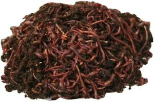 125 Live Earthworms Bait Reptile Live Food Pond Feed Perch Freshwater Fishing