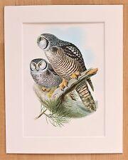 Hawk Owl - Mounted Vintage John Gould Bird Print 1960s Book Plate