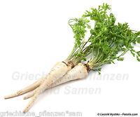 🔥  Wurzelpetersilie 50 frische Samen Balkon gesundes Würzgemüse Kräuter