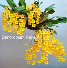 Dendrobium lindleyi , aggregatum, Species Orchid Plant Blooming Size yellow