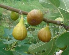 10 fig cuttings, good hardiness to-15 and excellent taste, No Shipping To Usa