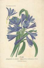 Stampa antica FIORI AGAPANTHUS UMBELLATUS botanica 1896 Antique print