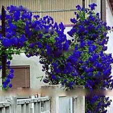 Blue Climbing Rose Tree Seeds Flower Perennial Flower for Garden UK STOCK