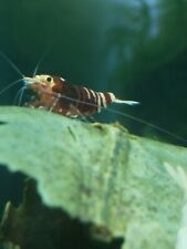 14 + 2 shrimp for free Tiger nanashi shrimp 5 black 5 red.