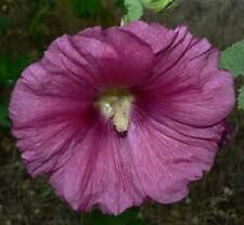30+ GRAPE 11 FT TALL GIANT DANISH HOLLYHOCK  FLOWER SEEDS