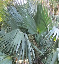 Palme winterhart bis -20°C: 15 Samen winterharte Zwergpalmettopalme, Sabal minor