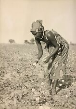 Cameroun Récolte de coton femme Kapsiki du village Rhumsiki Afrique CIRCA 1950