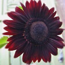 FLOWER SEEDS~SUNFLOWER~VELVET QUEEN~60 SEEDS