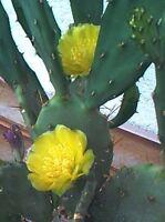 Opuntia Monacantha = Feigenkaktus, ein unbewurzelter Ableger, ca. 6 cm Länge