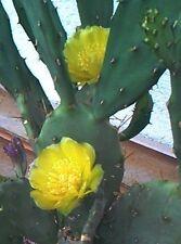 Opuntia Monacantha = Feigenkaktus, unbewurzelter Ableger, ca. 8 cm Länge