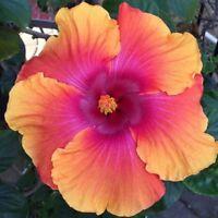 20 Light Pink Orange Hibiscus Seeds Giant Dinner Plate Flower Garden Exotic 2-93
