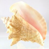Large Size Queen Conch Shell Seashell Nautical Fish Tank Decoration 7.75in P264