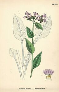 """Antique Hand Colored Plates (1867) – """"Common Lungwort; Pulmonaria offcinalis"""""""