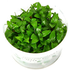 Staurogyne repens  in Vitro 1-2-Grow! Wasserpflanzen Aquariumpflanze Aquascaping