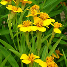 H090 Tagetes Lucida Mexican Tarragon x50 seeds