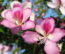 Bauhinia purpurea PURPLE ORCHID TREE, Winter Blooming ~SEEDS~