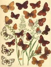 BUTTERFLIES. Satyridae;Eastern,Sicilian Marbled White;Mtn,Hill-side Ringlet 1903