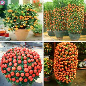 30 DWARF TANGERINE Mandarin Orange Citrus Fruit Bonsai Tree SEEDS EASY PEEL!