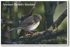 Western Bonellis Warbler - NEW Animal Wildlife POSTER