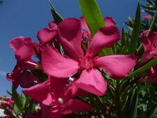 3 Oleander Stecklinge - ITALIA - frosthart