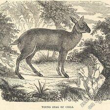 Jeune cerf du CHILI: Antique 1866 GRAVURE PRINT: Dessin Art Antelope rouge Buck