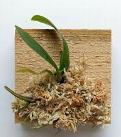 Miniature Orchid: Sedirea Japonica