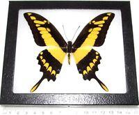 Papilio thoas king swallowtail yellow black butterfly Peru framed