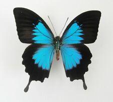 Papilio ulysses ssp. telemachus Männchen