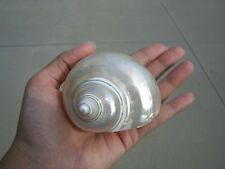 """White Mother Of Pearl Turbo Sea Shell 3"""" - 3 1/2"""" #S7-062"""