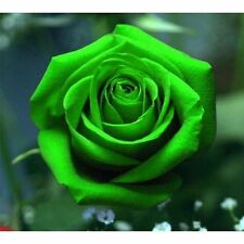 Green Exotic Flower Rose Seeds (RARE Garden Plant) Fresh Seeds - Aussie Seller