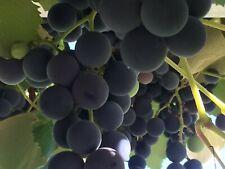 10 Grape Vines, Plants Vines Vineyard, Garden Plant Healthy Grape Vine Cuttings