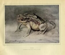 Toad, 1919 Vintage Color Print By Edwin Alexander, Amphibian, Color Toad Print