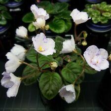 Blue Stardust Semi Miniature African Violet starter plant