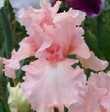Tall Bearded Iris 2 Perennial Flowers Bulbs Roots Impressive Resistant Stunning