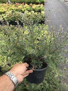 2 Tea Tree Plants - Leptospermum scoparium 'Martini' - Pink Flowers - 2L Pots