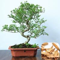 10 Pcs Seeds Fraxinus Chinensis Bonsai Ash Deciduous Tree Garden Ornamental NEW