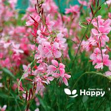 Gaura rosy-white - 20 seeds - Gaura Lindheimeri - halfhardy perennial - Border
