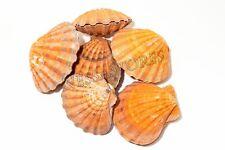 "Orange Lion Paw Scallop Nautical Dish Beach Craft Sea Shell 5""- 5 1/2"" (6 Pair)"