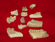 Lot Of 11 Fossil Jaws With Teeth Miocene Extinct Assorted Artiodactyla Species