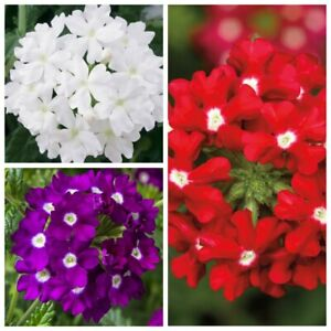 Seeds Verbena White Purple Red Flower Annual Indoor Balcony Garden Cut Organic
