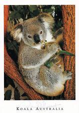 Postkarte aus Australien: fressender Koala im Eukalyptusbaum - Koala and Gumtree