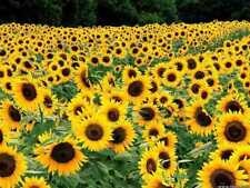 Dwarf Sunflower Seeds, Dwarf Sunspot, Heirloom Sunflower Seeds, Non-Gmo, 50ct