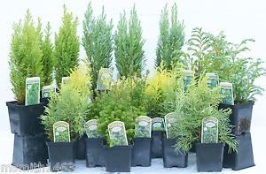 6 Excellent Dwarf Conifer Shrubs